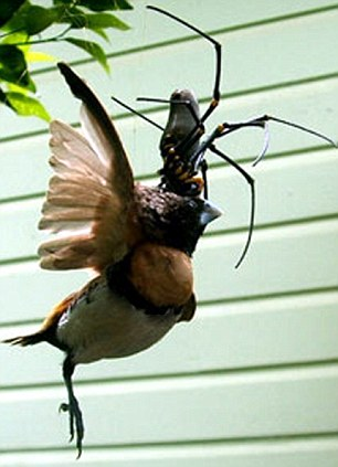SPIDER CATCHES AND EATS BIRD